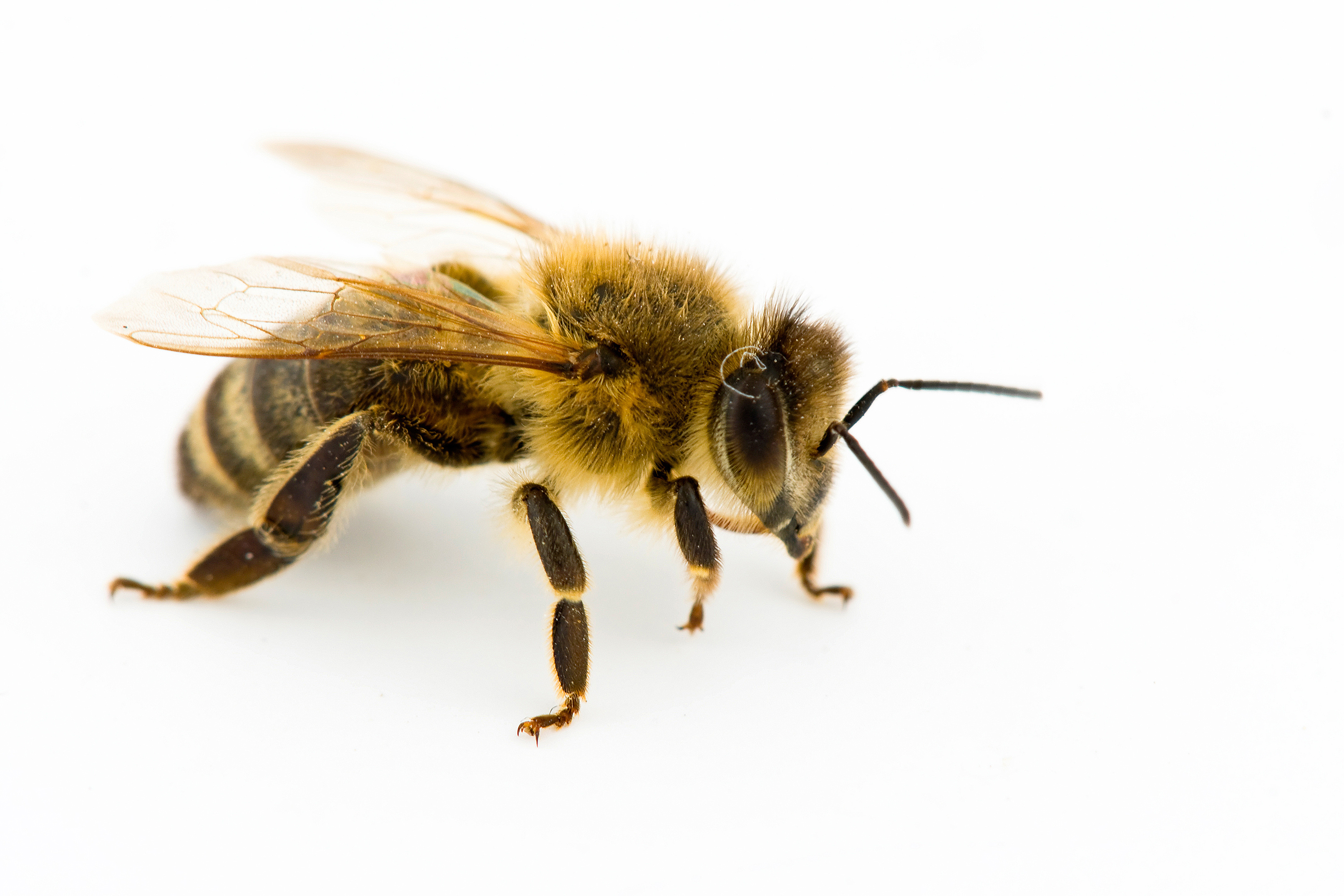a detailed discussion of the social organization of honeybees The social organization of the honey-bees is established by the living of all  individuals within the colony and they show the mutual cooperation among the.