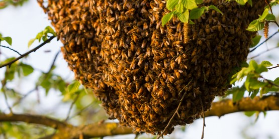 honeybee, colony collapse disorder, Muhammad Ali,