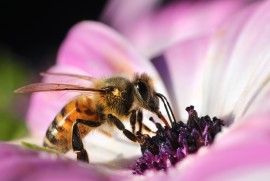 pest, flower, pollinator garden, honeybee, attracting honeybees, biofuels