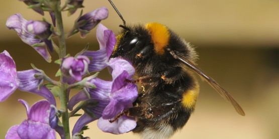 butterburs, honeybee preferences, accents, pollination