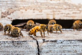 honeybee colonies, collapsing colonies, colony collapse disorder, zika, dementia, bee stings