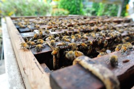manuka honey, roadside hives, truck drivers, bees, varroa mites