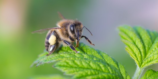 honeybees, colony collapse disorder, pesticide