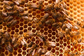 honeybees, pollination, colony collapse disorder