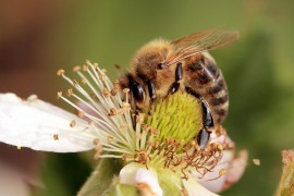 Africanized bees, honeybee, honeybee swarms