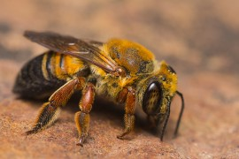 honeybees, colony collapse disorder, zombees