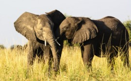 african elephants, honeybees, beehive fences