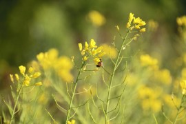GM mustard plants, honeybees, protest, pesticides