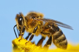 Virginia Tech, honeybees, bees, aging