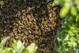Bees, Hive, Varroa Mite, Asian honeybees