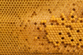 Honeybee Brood, Food Source