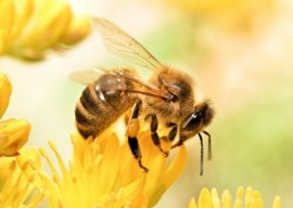 Honeybees, Pollinator, Bee, Origin