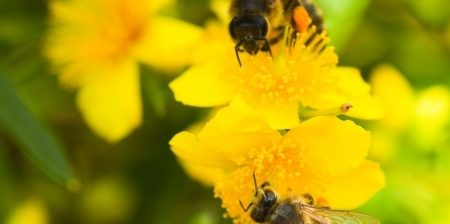 Honeybees, Research, Resilience, Health, Breed