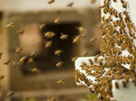 bee colonies, honeybees, pollinators, pesticides