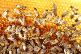 honey bees, colony collapse disorder