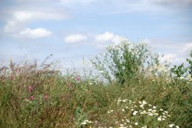 prairie grasses, pollinators, honey bees