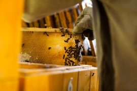 bee removal, honey bees, attic, bee extraction