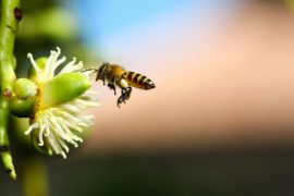 Pollination, honey bees, blueberries